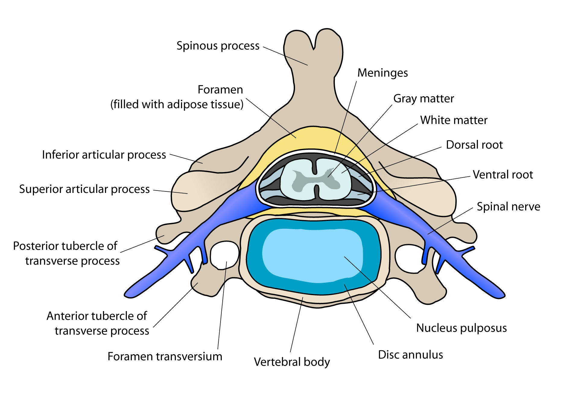 Cervical_vertebra_english